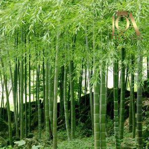 ویژگی های درخت بامبو